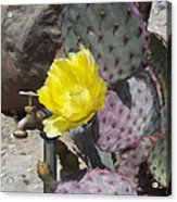 Cactus Flower 2 Acrylic Print by Snake Jagger