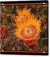 Cactus Flower 3 Acrylic Print