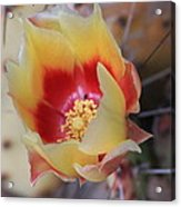 Cactus Flower Art In My Garden Acrylic Print