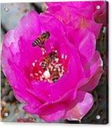 Cactus Flower Buzz Acrylic Print