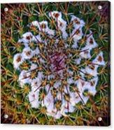 Cactus Radiance Acrylic Print