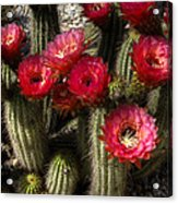 Cactus With Red Flowers Acrylic Print