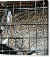 Caged Rabbit Acrylic Print
