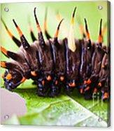 Cairns Birdwing Butterfly Caterpillar Acrylic Print