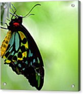 Cairns Birdwing Butterfly Acrylic Print