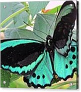 Butterfly Of Many Colors Acrylic Print