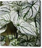 Caladium Named White Christmas Acrylic Print