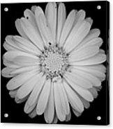 Calendula Flower - Black And White Acrylic Print