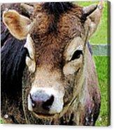 Calf Closeup Acrylic Print