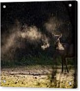Calf Elk With Steaming Breath At Lost Valley Acrylic Print