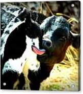 Calf Soothing An Itch Acrylic Print