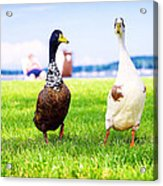 Calico Duck Quartet Acrylic Print