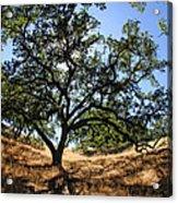 California Oaks Acrylic Print