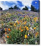 California Poppies And Lupins On A Hill Acrylic Print
