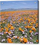 California Poppies And Other Acrylic Print
