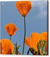 California Poppies Acrylic Print by Denice Breaux