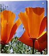 California Poppies Eschscholtzia Acrylic Print