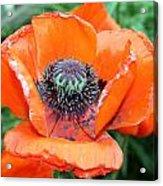 California Poppy Two Acrylic Print