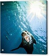 California Sea Lion, La Paz, Mexico Acrylic Print by Todd Winner