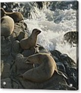 California Sea Lions Bask On San Miguel Acrylic Print by James A. Sugar