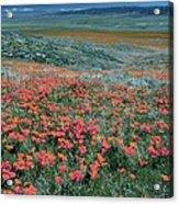 Californian Poppies (eschscholzia) Acrylic Print
