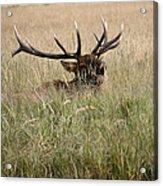 Call Of The Wild 1 Acrylic Print