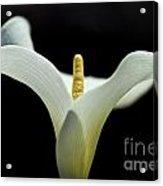 Calla Blossom - Cala Acrylic Print