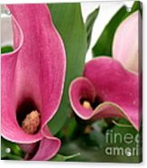 Calla Lilies In Pink Acrylic Print