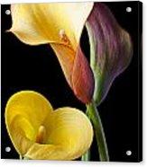 Calla Lilies Still Life Acrylic Print by Garry Gay
