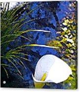 Calla Lily 6 Acrylic Print