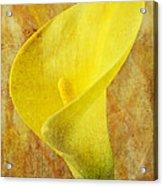 Calla Lily Beauty  Acrylic Print