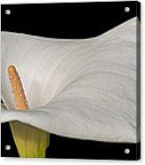 Calla Lily Flower Acrylic Print