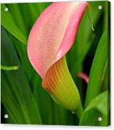 Calla Lily Rising Acrylic Print by Fraida Gutovich