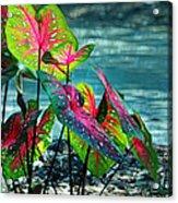 Calladiums Acrylic Print