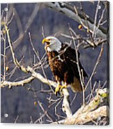 Calling For His Mate Acrylic Print