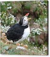 Calling Puffin Acrylic Print by George Leask