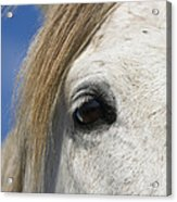 Camargue Horse Equus Caballus Eye Acrylic Print