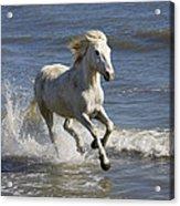 Camargue Horse Equus Caballus Running Acrylic Print