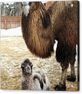 Camel And Colt Acrylic Print by Ria Novosti