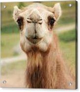 Camel Cameo Acrylic Print