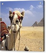 Camel In Giza Egypt Acrylic Print