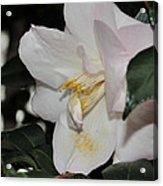 Camellia 18 Acrylic Print