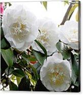 Camellia Flowers (camellia Japonica) Acrylic Print