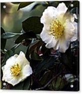 Camellia Nineteen Acrylic Print