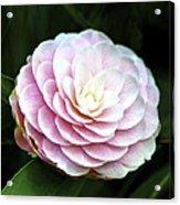 Camellia Twenty-two  Acrylic Print