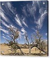 Camelthorn Tree (acacia Erioloba) Acrylic Print