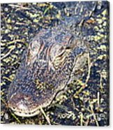 Camouflaged Gator Acrylic Print
