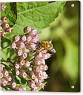 Camphorweed Wildflowers And Honey Bee Acrylic Print