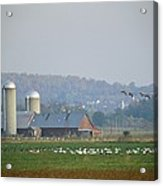 Canada Geese And Other Birds Fill Acrylic Print