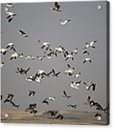 Canada Geese And White Geese Migration Acrylic Print
